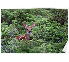 Fawn - White-tailed Deer Poster