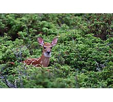 Fawn - White-tailed Deer Photographic Print