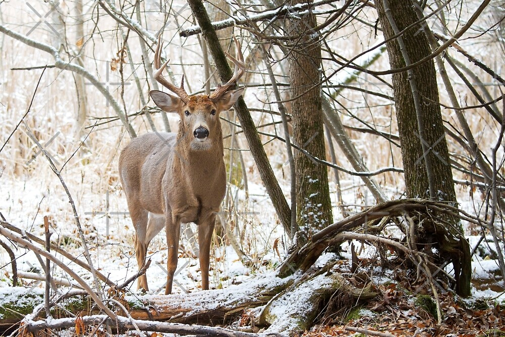 Edge of the Woods - White-tailed buck by Jim Cumming