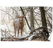 Edge of the Woods - White-tailed buck Poster