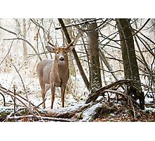 Edge of the Woods - White-tailed buck Photographic Print