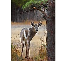 Gotcha! - White-tailed Deer Photographic Print