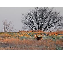 Painted Hill - White-tailed deer Photographic Print
