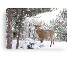 Frosty Buck - White-tailed Buck, Ottawa Metal Print