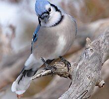 The Inquiring Blue J by DigitallyStill