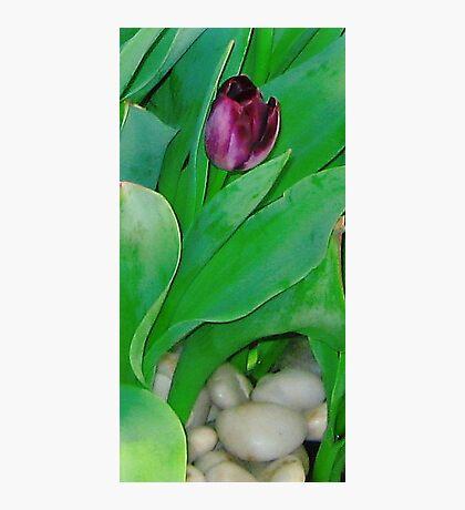 """Boston Tulip"" Photographic Print"