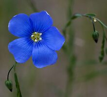 Blue Wildflower by Rick Stockwell