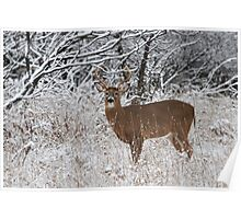 White-tailed Buck in Snow Poster