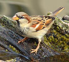 Sparrow in Washington by fullmoonpond