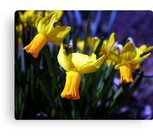 Daffodil Song Canvas Print