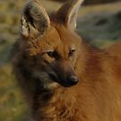 Maned Wolf by Franco De Luca Calce