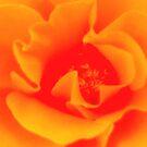 poppy 2 by Anthony DiMichele
