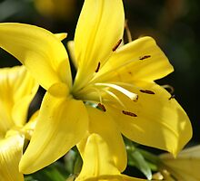 Sunshine Lily  by Ruth Lambert