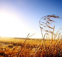 Afternoon Barley - Wheatbelt, Western Australia by Boxx
