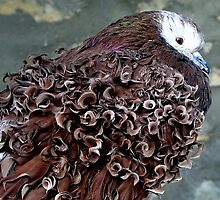 curled pigeon in captivity at the public garden  by Franlaval