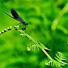 Dark Blue Broad winged-Damsel by NaturesEarth