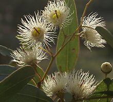 White Flowering Gum blossom by BronReid