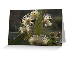 White Flowering Gum blossom Greeting Card