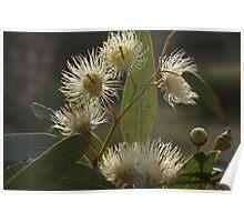 White Flowering Gum blossom Poster