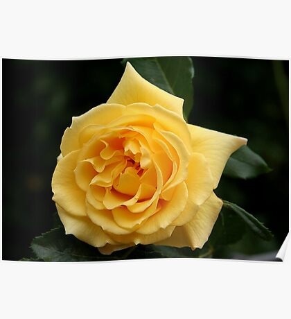 Sunny Yellow Rose Poster