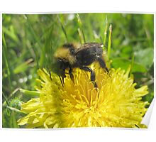 Bumble Bee And The Yellow Flower Poster