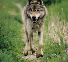 Wolf On The Run by stuart powell