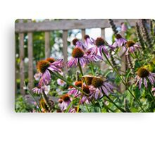 Echinacea flowers Canvas Print