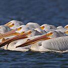 American White Pelicans by tomryan