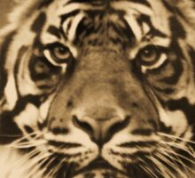 Amur Tiger Sticker
