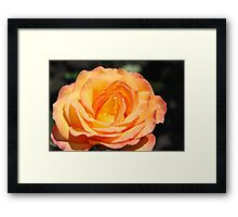 gorgeous golden yellow rose flower. floral photography. Framed Print