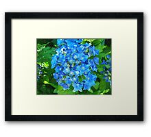 summer blue hydrangea flowers and green leaves Framed Print