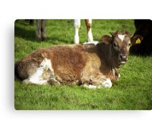 A calf of Llanfairfechan. Canvas Print