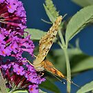 Painted lady feeding by relayer51