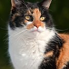 Calico Cat by Eyal Nahmias