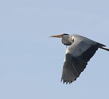 Grey Heron by Franco De Luca Calce