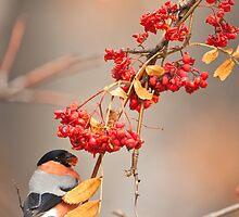 Bullfinch (Pyrrhula Pyrrhula) by BogdanBoev