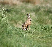 hare by sparkieroy