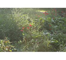 wild cottage garden in the evening Photographic Print