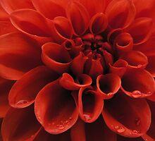 Red Dahlia by BonnieJames