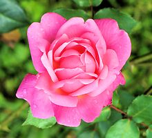 Beautiful Pink Rose by Esperanza Gallego
