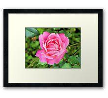 Beautiful Pink Rose Framed Print