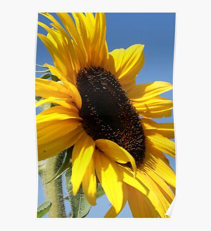Sunflower at the pumpkin patch  Poster