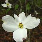 Dogwood Blossom by Kent Nickell