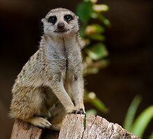 Mr Meerkat - Melbourne Zoo Series by dazzleng
