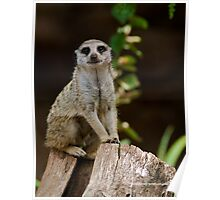 Mr Meerkat - Melbourne Zoo Series Poster