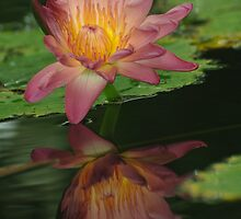 Water Lily 3 by John Caddell