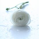 white ranunculus with dew by OldaSimek