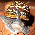 Snail 1 by Clare101