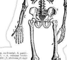 Renaissance Human Anatomy Skeleton Sticker