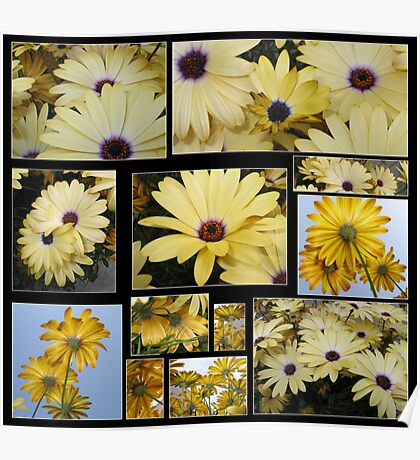 A Barrage of African Daisies Poster